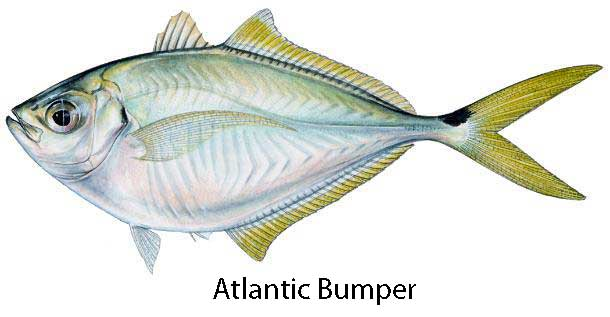 Mobile website for Atlantic game fish