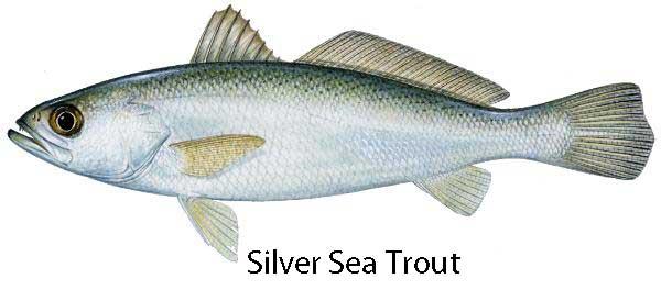 Silver Sea Trout